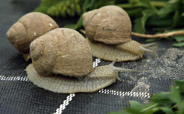 Scientists believe the snails will also help provide treatments for diseases afflicting the elderly including dementia