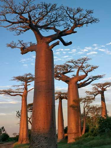 Baobabs, which have the scientific name Adansonia digitata, are often known as the upside-down trees