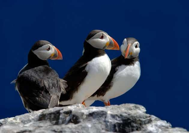 The number of puffins on the Farne Islands is down by one third in five years
