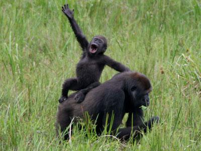 The lowland gorilla of western Africa is under threat