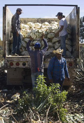 Farmers load blue agave plants on a truck for the production of tequila in Arandas, Mexico. But the falling prices for the crop, and the soaring prices for corn and beans, have put tequila at risk