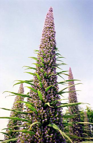 Mad, bad and dangerous to know (in this country) - Echium pininana