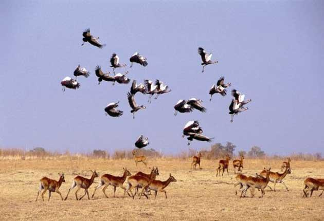 Under siege: A herd of antelope on the Zambian savannah disturb a siege of crowned cranes