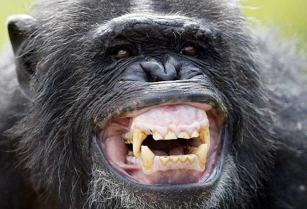 Remind you of your boss? A bonobo, a type of chimpanzee, reacts during feeding time at Twycross Zoo, England