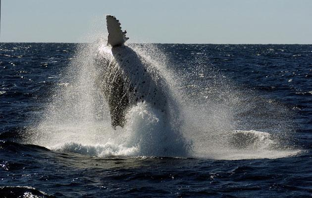 "The humpback breaches: ""one of the ocean's most breathtaking taking sights"""