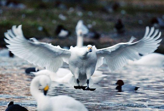 Wildlife experts were expecting 300 migrating Bewick's swans to have arrived by late October