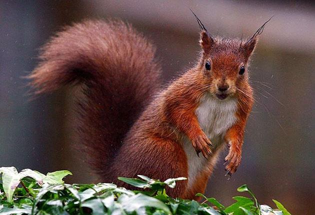 Red squirrels 'have a very strong bite'