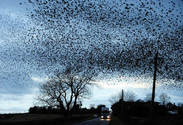 The huge gatherings, biggest in winter, are boosted by thousands of birds that come to Britain's milder Atlantic climate to escape the harsh cold of the European continent