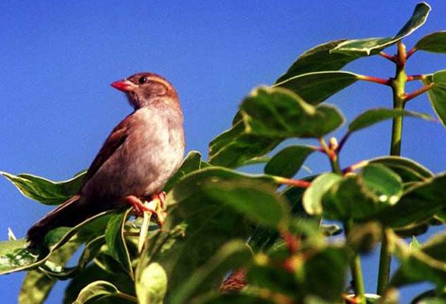 The campaign to find a convincing theory about why the house sparrow was dying out in cities has finally found a serious theory after eight years