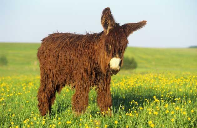 The Poitou donkey is a very rare breed with a long shaggy coat