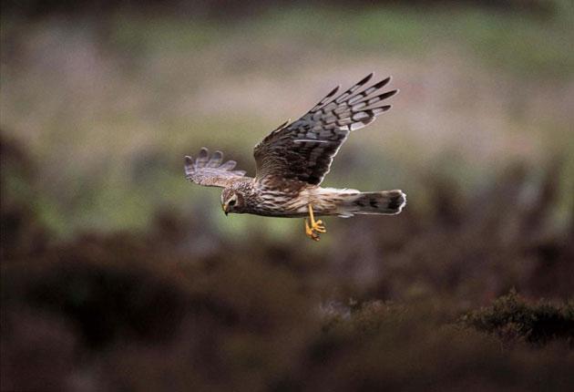 The hen harrier is a rare sight on England's grouse moors
