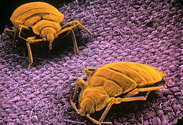 The bedbug is only quarter of an inch long, and they tend to lurk in the clothing of travellers and in their luggage