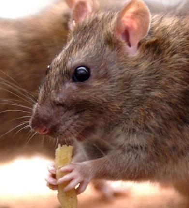 If only they stuck to chips ... rats, like mice, have to wear down their teeth, and that need leads them to gnaw through electrical wires as well as food