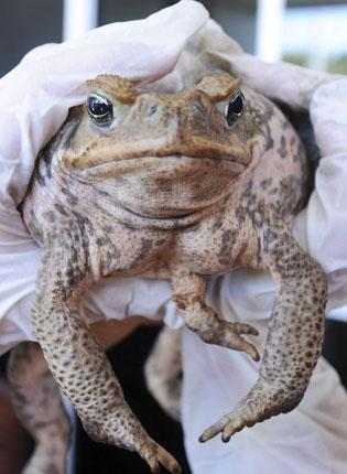 Alien invader: Cane toads arrived in 1935 and now threaten native species