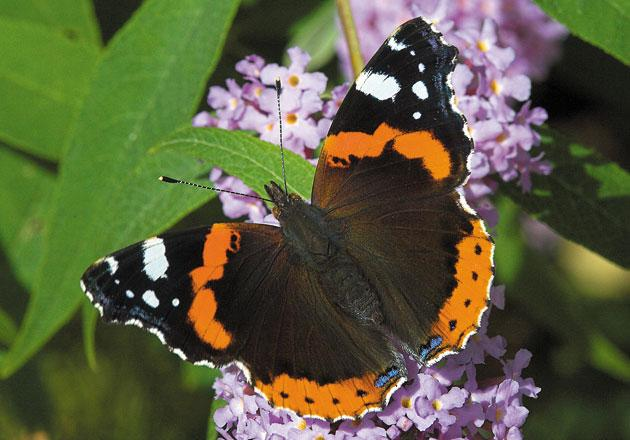 Top 10 - Red Admiral