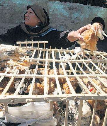 Chickens for sale in Cairo: Most bird-flu victims in Egypt this year are children