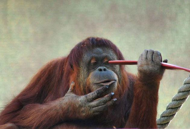 Karta, the orang-utan who short-circuited electrical wires to escape
