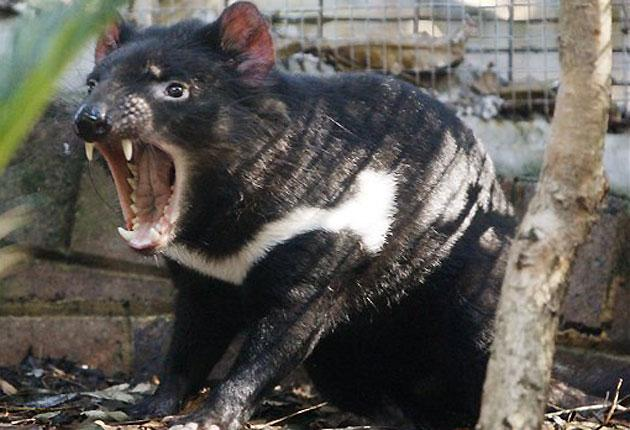 A Tasmanian Devil at Sydney's Taronga Zoo. The fox-sized marsupial  was listed as an endangered species in Australia