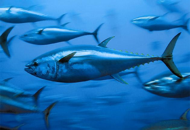 Bluefin tuna is being over-fished and its numbers can't be sustained, scientists say