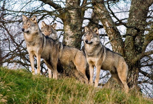 Wolves were last found in Scotland 250 years ago, and their absence has changed the landscape