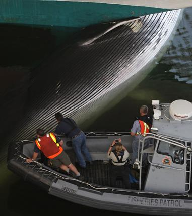 Officials in Vancouver examine the fin whale carcass that had become wedged under the bow of the Sapphire Princess