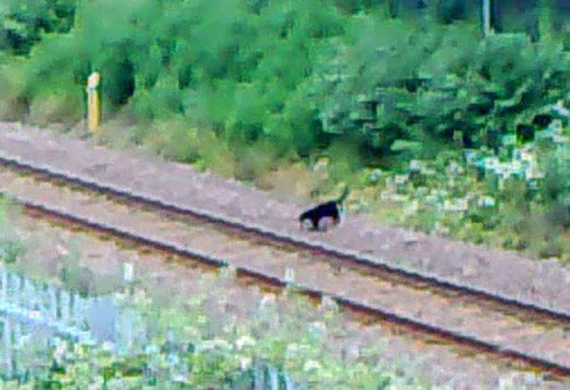 The animal, believed to be a big cat, prowling close to a naval base in Faslane