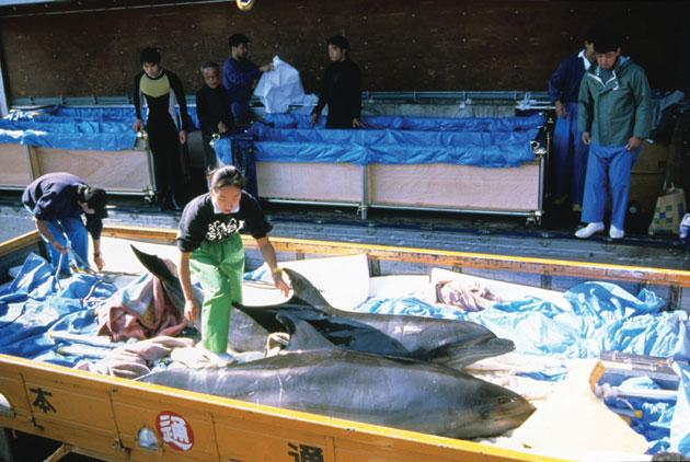 Documentary 'The Cove' shows dolphins driven to death or captivity by the fishermen of Taiji