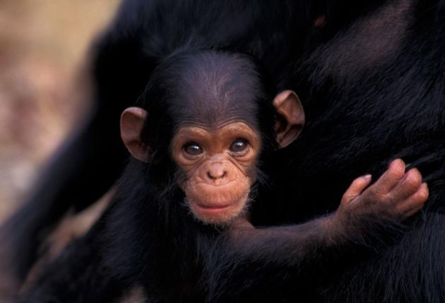 Baby chimps almost always cry for a reason, in contrast to some of the crying of human babies