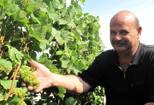 Philippe Gué with his chardonnay grapes just before the harvest begins today