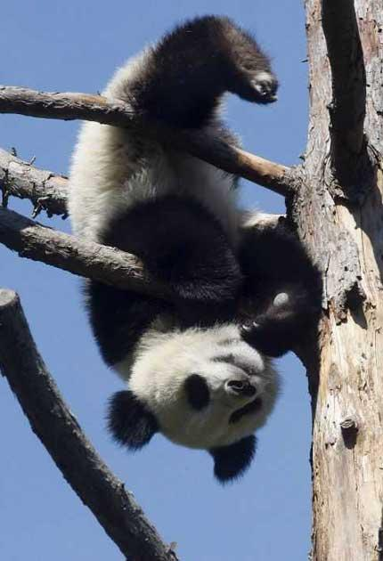 "Giant pandas belong to a select breed of animals qualifying as ""charismatic megafauna"""