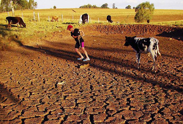 A farmer pulls a cow across a cracked field caused by a drought in Passo Fundo, Rio Grande do Sul, Brazil. Southern Brazilian states have suffered from an extended drought, caused by La Nina, and the periodic cooling of waters in the Pacific Ocean