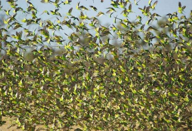 Budgerigars fill the sky near the town of Boulia in Queensland. Floods produced ideal conditions for the birds to thrive