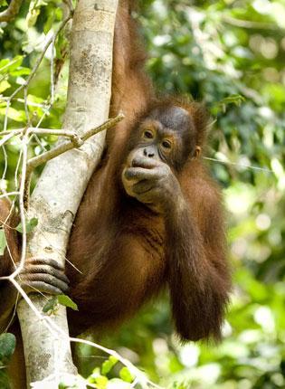Borneo's orang-utans
