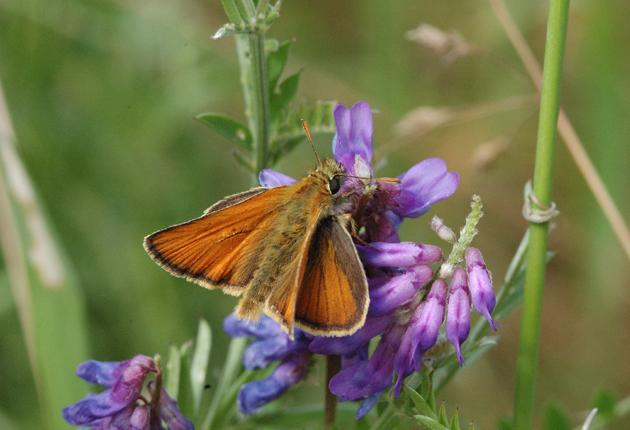 The small skipper butterfly was successfully relocated to a new habitat
