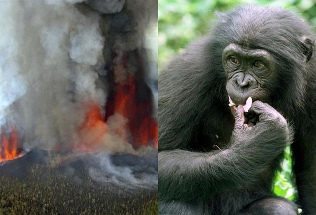Mount Nyamulagira, left, erupts in an eastern area of Congo which is home to the 'Tonga group' of rare chimpanzees