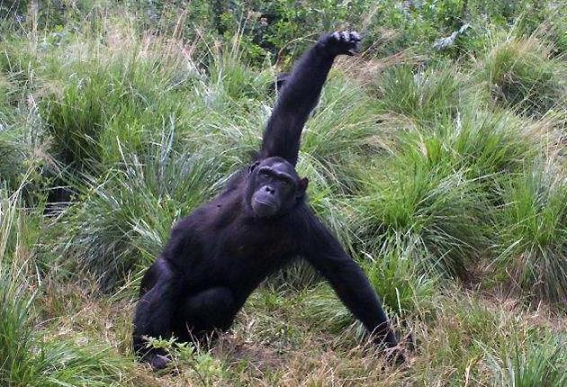 Observations of chimpanzees could shed light on when our human ancestors first controlled fire