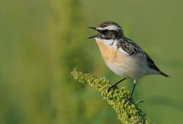 The migratory whinchat, once part of the 'filigree background sound of spring', is now all but extinct south of the Pennines