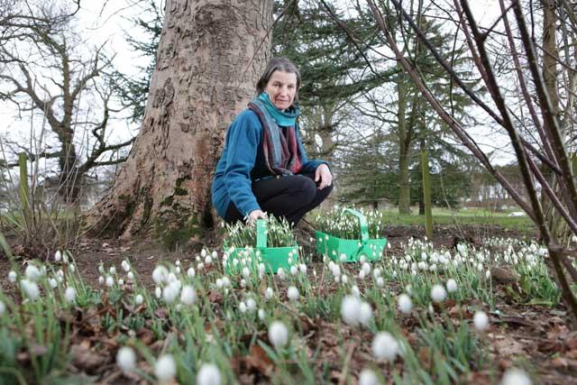 Catherine Erskine of Cambo, St Andrews, has this year arranged a 'Snowdrops by Starlight' walk, with special lighting set up throughout the 70 acres of woodland