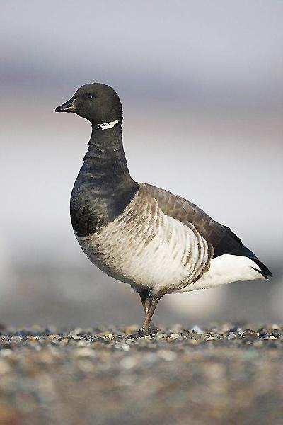 A light-bellied brent goose, one of the world's rarest birds, as the big freeze has brought an unusually large number of the geese to the Lindisfarne National Nature Reserve in Northumberland, but the whereabouts of several thousand of them still remains