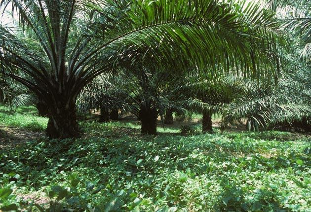 Palm oil can be found in half of all the best-selling foods in the world
