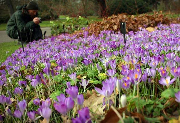 Crocuses flowering in Kew Gardens, London, last week