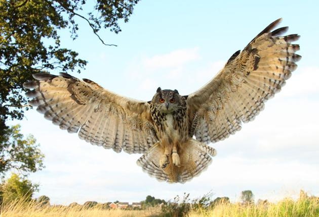 An eagle owl swoops down for the kill. They can take cats or dogs if they are hungry enough