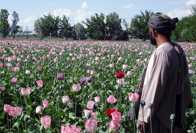 By sifting through the 23,000 genes of the poppy plant, the scientists discovered the two genes responsible for converting codeine to morphine