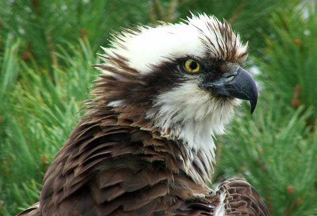 The female osprey has lived to three times the average lifespan of her breed and produced 46 chicks