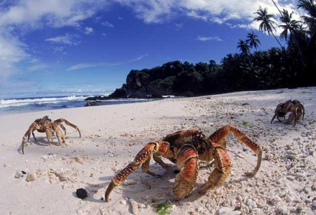 Coconut crabs on the beach on Christmas Island
