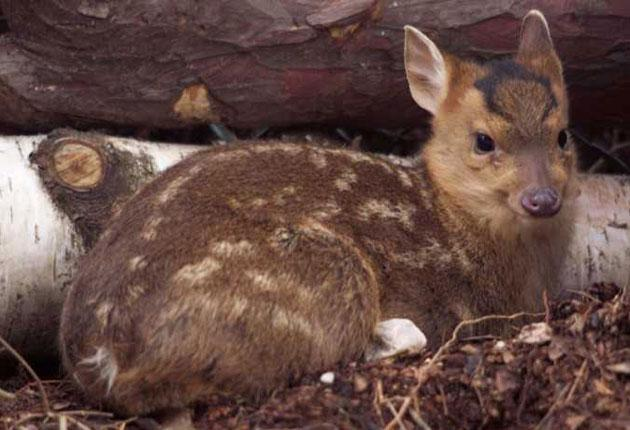Fast food: muntjac deer are delicious, but elusive