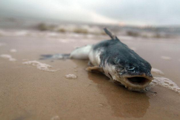 A dead fish lies on the beach, as concern continues for the creatures that are in the path of the massive oil spill in the Gulf of Mexico.