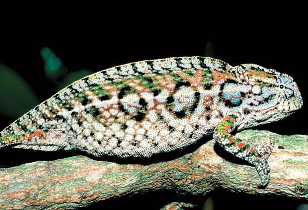 Members of the Chamaeleonidae family like Furcifer lateralis, from Madagascar, are facing extinction