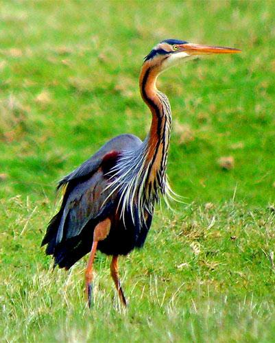 RSPB experts expect to see more purple herons arriving on British shores due to the warming climate