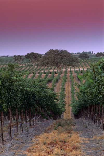 Rows tinted: vineyards in Paso Robles at dusk